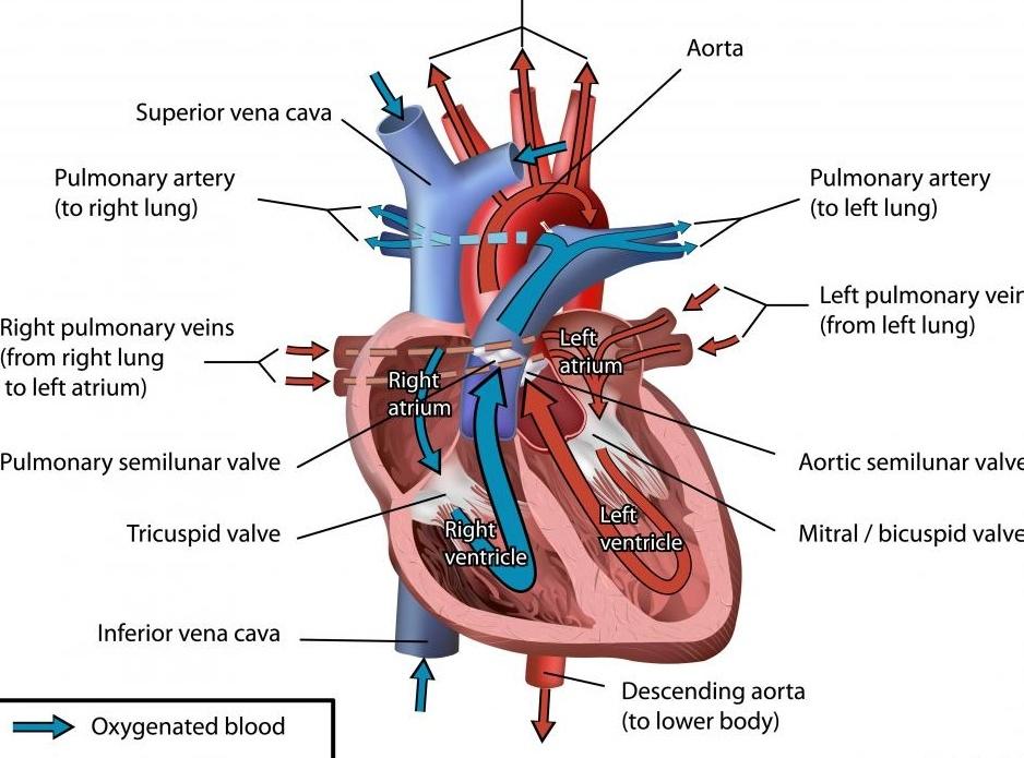 Усиливающее кольцо на сердечном клапане может помочь предотвратить регургитацию, которая может возникнуть у людей с сердечной недостаточностью.