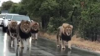 Львы остановили движение на дороге!