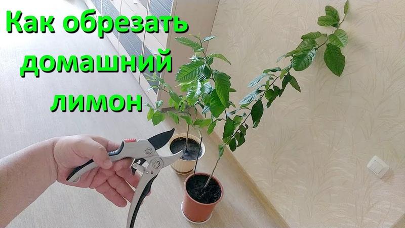 Как Правильно Обрезать Ветки Домашнего Лимона Видео
