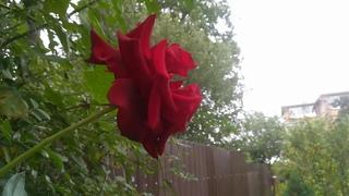 Всё ещё цветут розы,герани,жёлтая будлея,хризантемы, спеет азимина