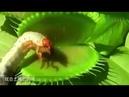 Венерина мухоловка ловит насекомых китайский язык