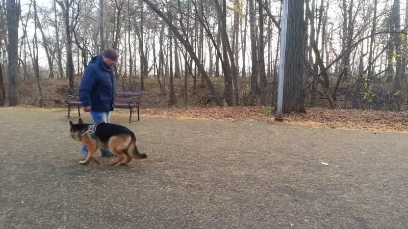 Дрессировка собак в школе Akita Dog School.