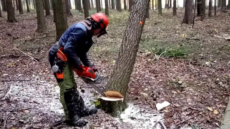 Felling four trees suddenly chainsaw Husqvarna 562 XP