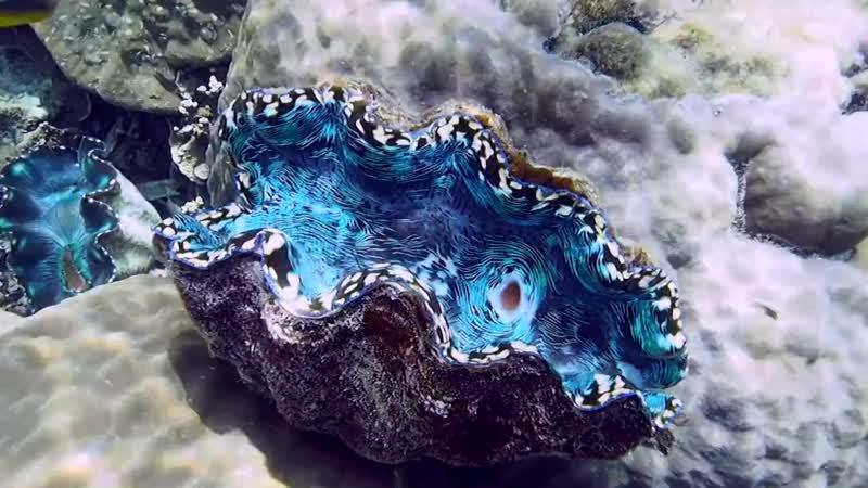 Ферма морских моллюсков в Палау - Tridacna_derasa Tridacna_sp Hippopus_porcellanus
