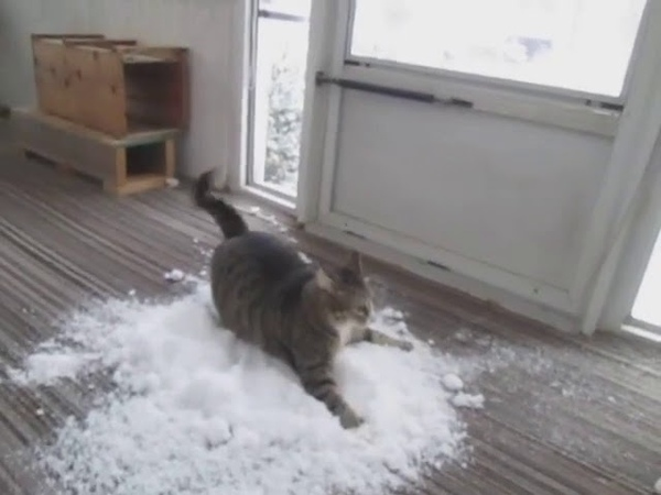 Cat Loves to Play With Snow Brought Indoors By Owner - 1083703