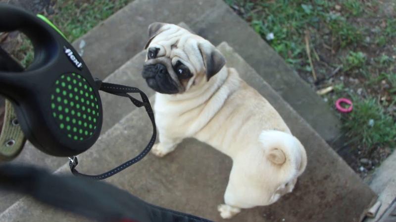 Мопс Арни Плюсы породы мопс Pug Arnie pros pug puppies мопс щенки
