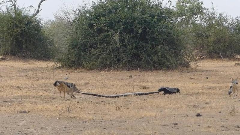 Python, Honey Badger Jackal Fight Each Other
