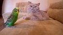 Говорящий попугай и кот друзья не разлей вода.☺️ Смешные животные