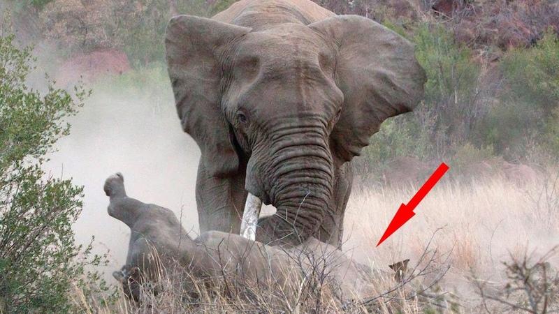 СЛОН В ДЕЛЕ. Версус. Слон против льва носорога крокодила бегемота и буйвола!