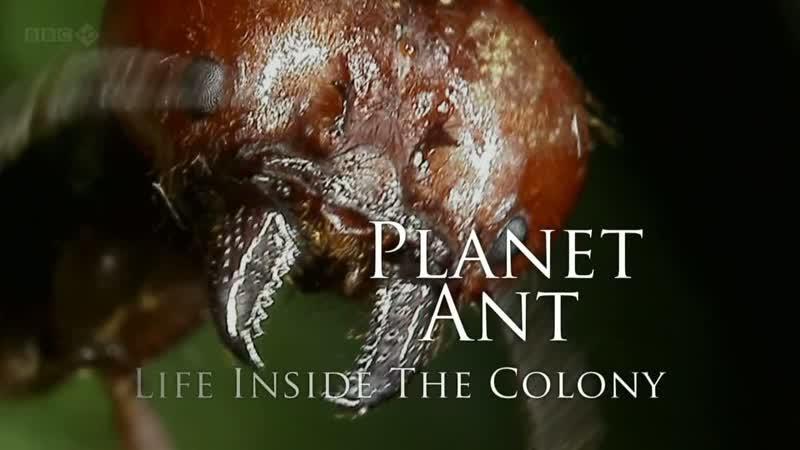 BBC Планета муравьёв Взгляд изнутри 2012
