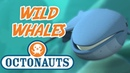 Octonauts Wild Whales Compilation Whale Cartoon for Kids
