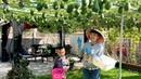 Thu Hoạch Su Su và Chia Sẻ Kinh Nghiệm Trồng Su Su Nhiều Trái 🇨🇦425》 How to Grow Best Chayote