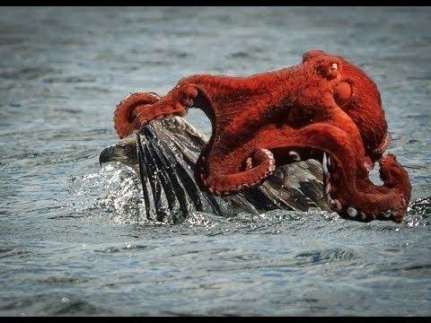 Đang tập bơi nào ngờ bị Quái vật nhiều chân Bám chặt mối tình nhớ đời ĐẠi BÀNG Khi thần gió đi săn