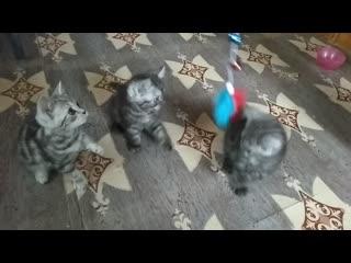 Шотландские мраморные котята Казань