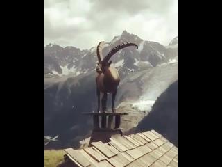 Альпийский горный козел