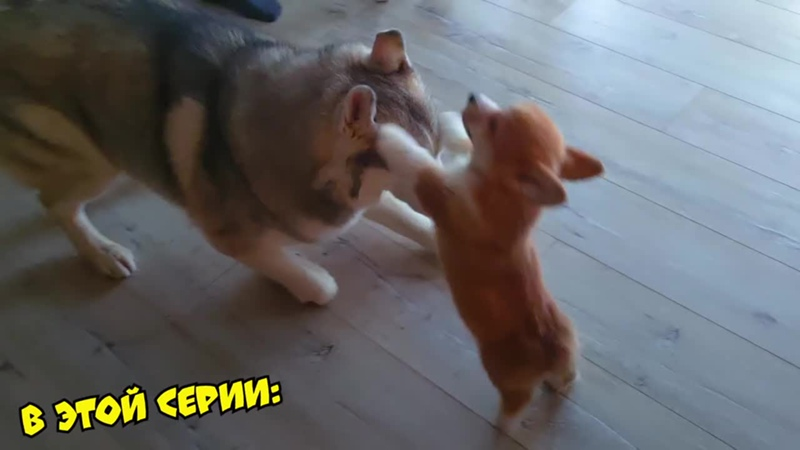 [Хаски Бандит] МСТИМ ЩЕНКУ КОРГИ КОРЖИКУ ЗА ЕГО НАГЛОСТЬ!! (Хаски Бандит) Говорящая собака
