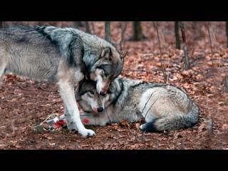 🐺Волк не оставил волчицу, попавшую в капкан, он оставался с ней до конца. Людям стоит поучиться