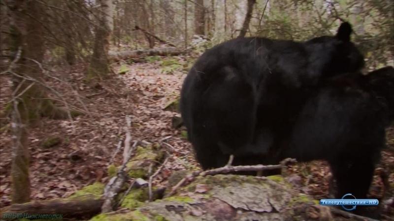 BBC Чёрные медведи Документальный природа животные 2009