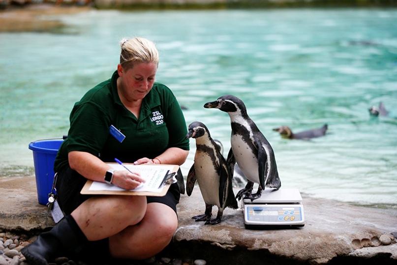 Процесс взвешивания в Лондонском зоопарке