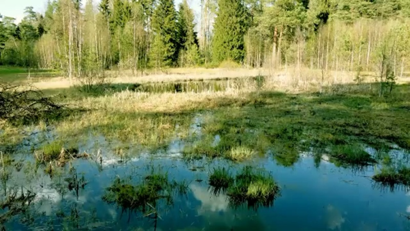 Весенняя жизнь одного маленького болота на окраине Иванова