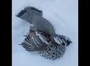 В Якутии рябчики не выдерживают морозов.