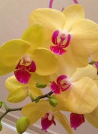 Лена Орхидея, Симферополь