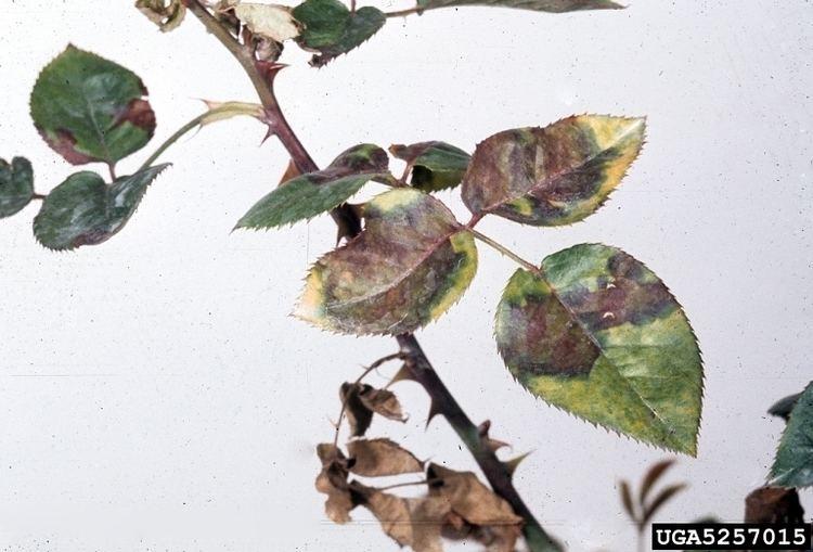 Борьба с инфекционными болезнями роз, изображение №2