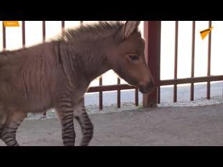 Зеброид. Детеныш зебры и осла бегает по Липецкому зоопарку