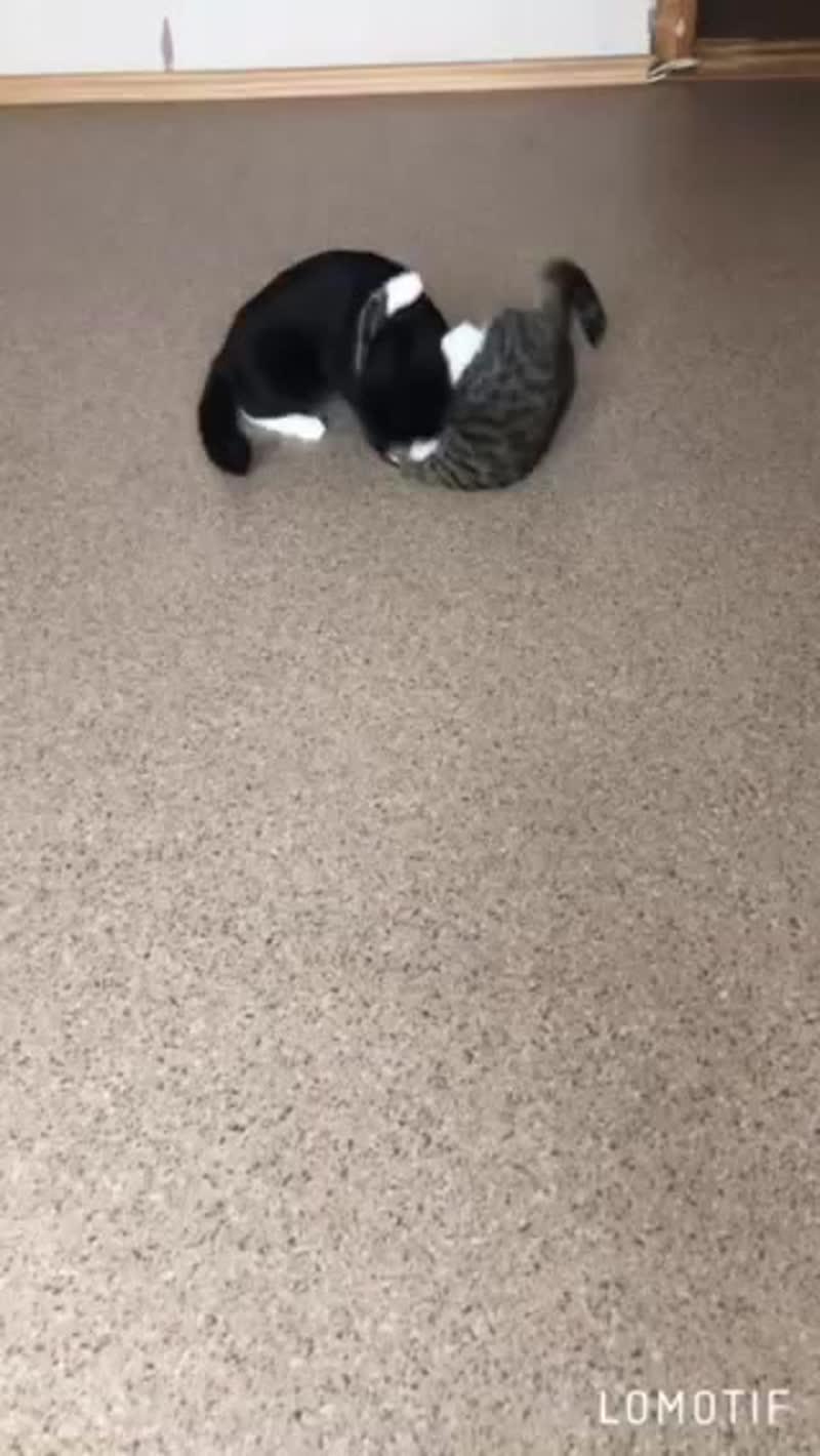 Мои кошки борцы