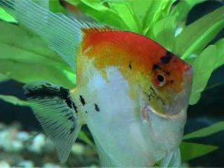 выставка аквариумных рыб и террариумных животных 2009. Начало легенда о золотой рыбке.