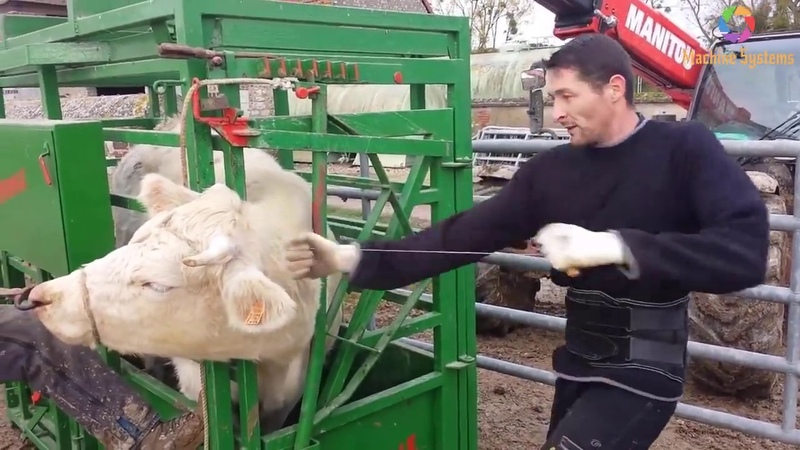 Sawing Horns Cut Cow Hoof Dipping Sheep It Difficult but Wonderful Job in Raising Cattle